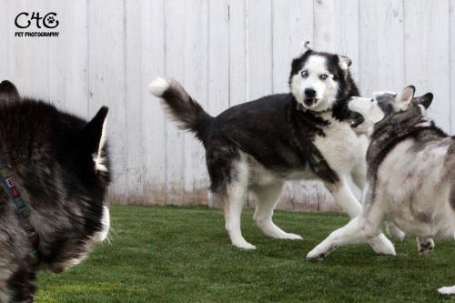 huskydogs 107